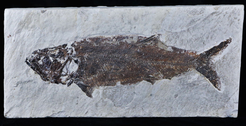 XXL 2 TWO FOSSIL FISH SPANIODON BLONDELII FISH 7 IN LONG CRETACEOUS AGE 95 MILLION YRS OLD LEBANON BACK - Fossil Age Minerals