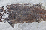 XXL 2 Two Fossil Fish Spaniodon Blondelii Fish 7 IN Cretaceous Age Lebanon Back - Fossil Age Minerals