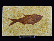 3.5 IN Diplomystus Dentatus Fossil Fish Green River Formation Wyoming Eocene Age Free Stand - Fossil Age Minerals