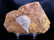 Detailed Ginkgo Cranei Fossil Plant Leaf Morton County, ND Paleocene Age Free Stand - Fossil Age Minerals