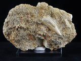 Saber Toothed Herring Fossil Fang Tooth In Matrix Enchodus Libycus Cretaceous Age Dinosaur Era - Fossil Age Minerals