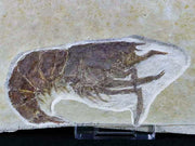 XL Aeger Spinipes Fossil Shrimp Upper Jurassic Age Solnhofen Formation, Germany 3 IN Free Stand - Fossil Age Minerals