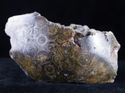 Polished Hexagonaria Coral Fossil Devonian Age 350 Million Yrs Old Morocco 7.2 Ounces - Fossil Age Minerals