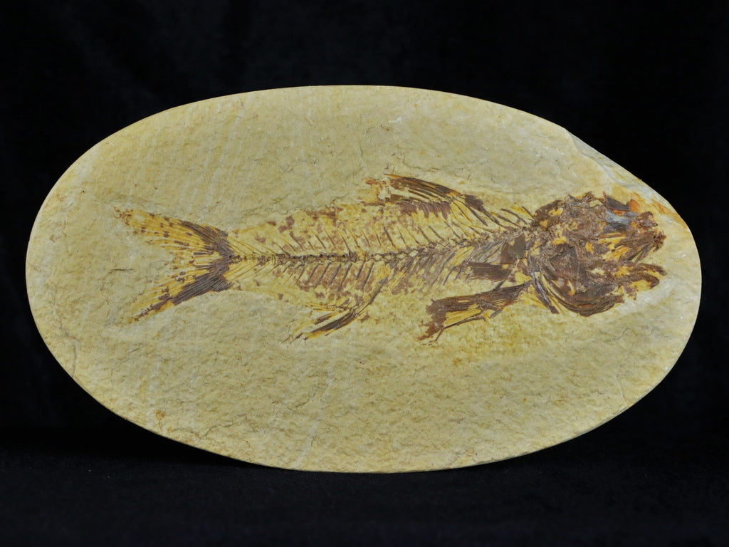 RARE XL AMPHIPLAGA BRACHYPTERA FOSSIL FISH GREEN RIVER FORMATION WY 4.8 INCHES LONG OVAL - Fossil Age Minerals