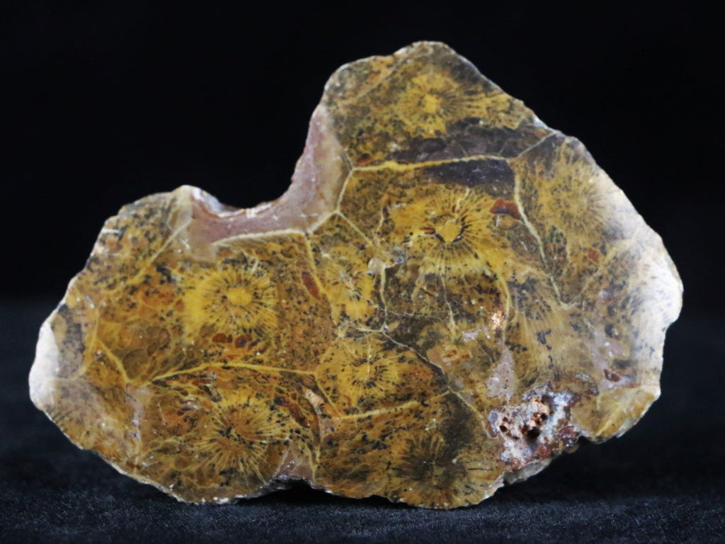 POLISHED HEXAGONARIA CORAL FOSSIL DEVONIAN AGE 350 MILLION YRS OLD MOROCCO 1.6 OUNCES - Fossil Age Minerals