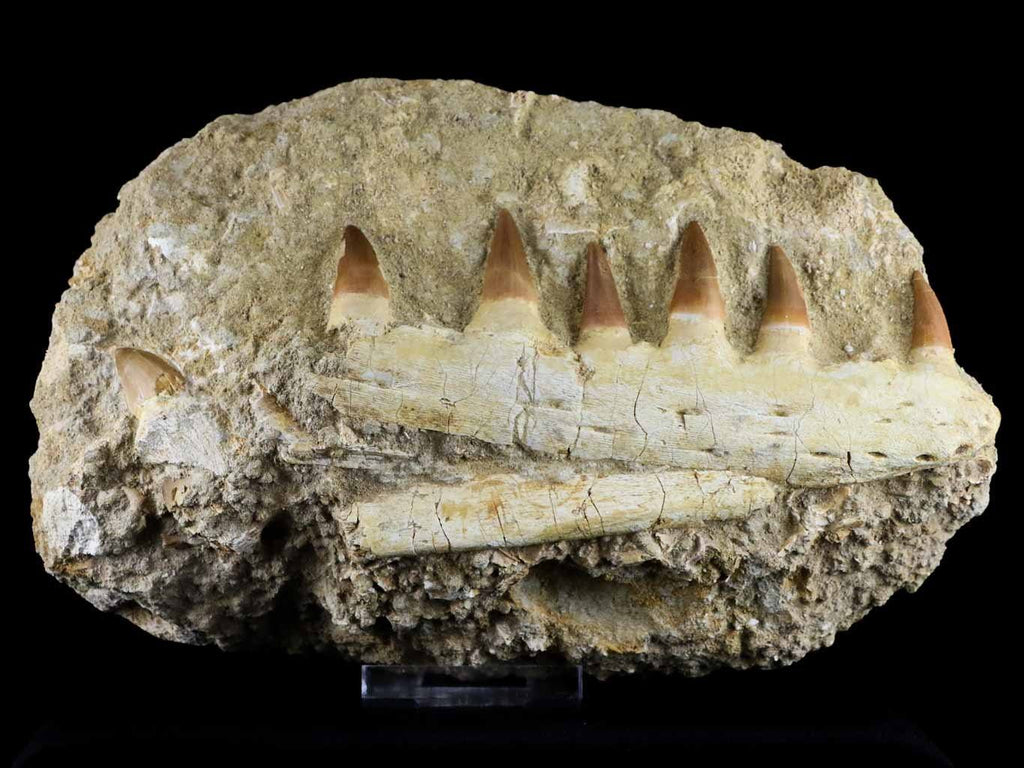 XL HALISAURUS MOSASAUR FOSSIL JAW TEETH CRETACEOUS DINOSAUR ERA 66 MILLION YRS OLD COA STAND - Fossil Age Minerals