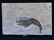Detailed Antrimpos Sp Fossil Shrimp Upper Jurassic Age Solnhofen Formation, Germany 2 IN - Fossil Age Minerals