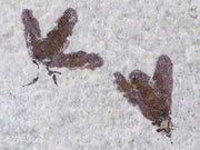 2 Two Fossil Insect March Fly Green River Formation Wyoming Eocene Age Plecia Pealei - Fossil Age Minerals
