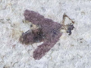 Detailed Fossil Insect March Fly Green River Formation Wyoming Eocene Age Plecia Pealei - Fossil Age Minerals