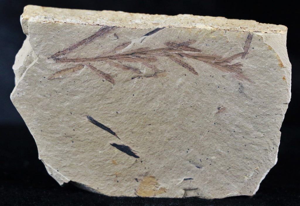 HIGHLY DETAILED FOSSIL PLANT LEAFS METASEQUOIA DAWN REDWOOD OLIGOCENE AGE - Fossil Age Minerals