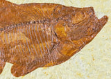 2 Two Knightia & One 1 Diplomystus Fossil Fish Green River WY Eocene Age COA, Stand - Fossil Age Minerals