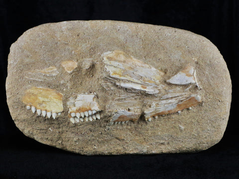 RARE EUTRICHIURIDES FOSSIL FISH JAW WITH TEETH IN MATRIX UPPER CRETACEOUS MOROCCO