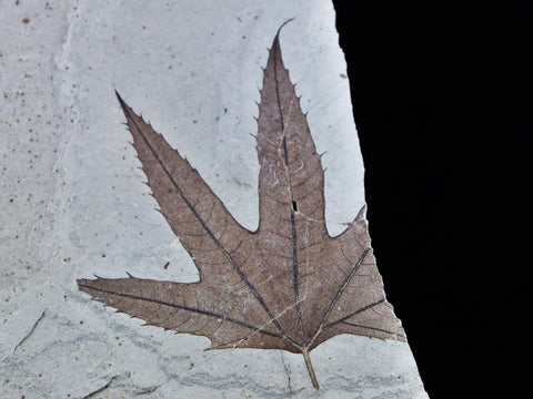 RARE HIGHLY DETAILED PLATANUS WYOMINGENSIS SYCAMORE  FOSSIL PLANT LEAF 54 MILLION YRS OLD FREE STAND - Fossil Age Minerals