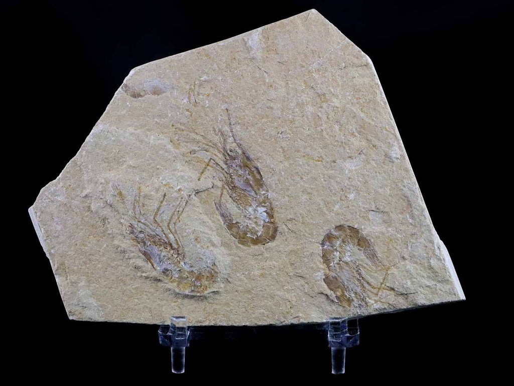 3 Three Fossil Shrimp Carpopenaeus Cretaceous Age 100 Million Yrs Old Lebanon Stand - Fossil Age Minerals