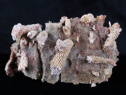 Thamnopora SP Coral Fossil Coral Reef Devonian Age New Find Verde Valley AZ - Fossil Age Minerals