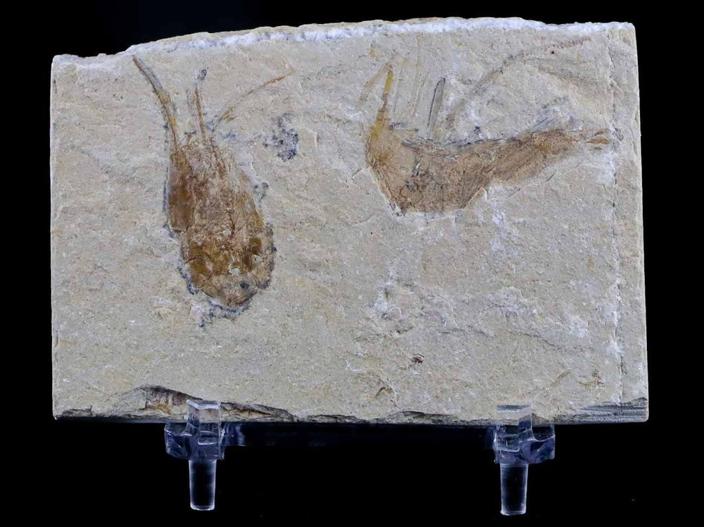 2 Two Fossil Shrimp Carpopenaeus Cretaceous Age 100 Million Yrs Old Lebanon Free Stand - Fossil Age Minerals