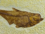 3.3 IN DIPLOMYSTUS DENTATUS FOSSIL FISH GREEN RIVER FORMATION WYOMING EOCENE AGE FREE STAND - Fossil Age Minerals