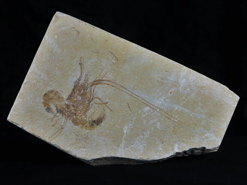 2 TWO FOSSIL SHRIMP CARPOPENAEUS CRETACEOUS AGE 100 MILLION YEARS OLD LEBANON - Fossil Age Minerals