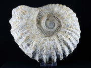 XXL Rough Acanthoceras Ammonite Fossil From Morocco 360 Million Years Old 5 LB 0.8 OZ - Fossil Age Minerals