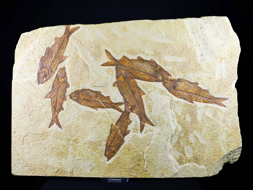 8 Eight Knightia Eocaena Fossil Fish Green River Formation WY Eocene Age 4 IN Long Free Stand - Fossil Age Minerals