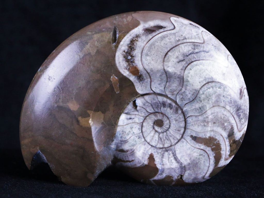 3.7 IN GONIATITE AMMONITE POLISHED FOSSIL PLATE FROM MOROCCO 360 MILLION YEARS OLD - Fossil Age Minerals
