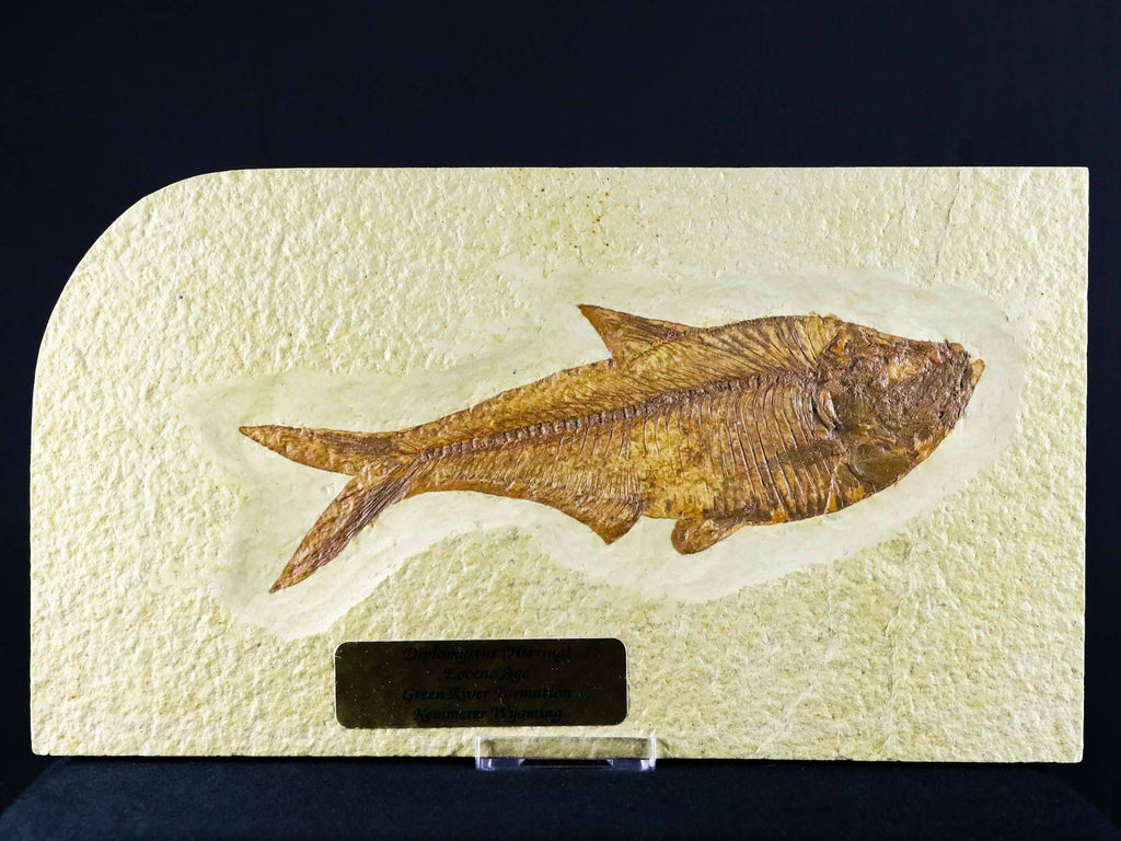 XXL 6.4 IN Diplomystus Dentatus & Knightia On Back Fossil Fish Green River WY COA, Stand - Fossil Age Minerals