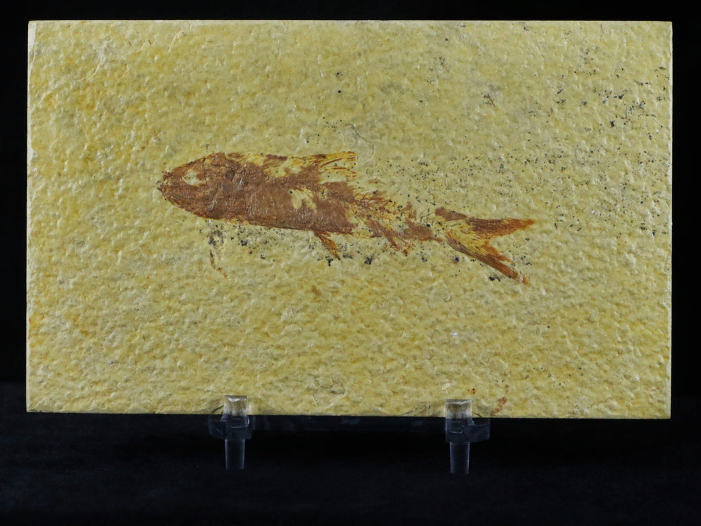 2.9 IN KNIGHTIA EOCAENA FOSSIL FISH GREEN RIVER WYOMING EOCENE AGE FREE COA & STAND - Fossil Age Minerals