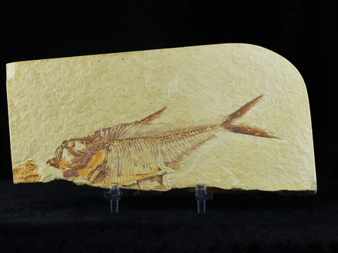 4.6 IN DIPLOMYSTUS DENTATUS FOSSIL FISH GREEN RIVER FORMATION WYOMING EOCENE AGE FREE STAND - Fossil Age Minerals