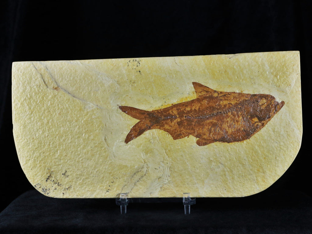 2 Two 4.3 IN Diplomystus Dentatus Fossil Fish Green River WY Eocene Age Back Free COA, Stand - Fossil Age Minerals