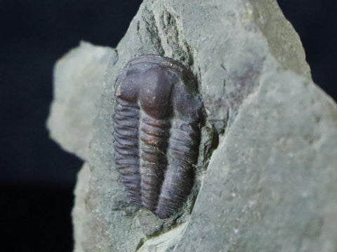 TRILOBITE BRACHYASPIDION MICROPS CAMBRIAN AGE UTAH 500 MILLION YEARS AGO