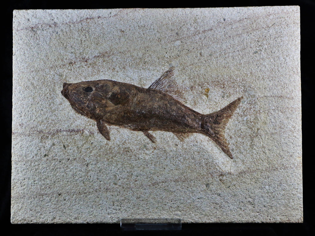 XL RARE RHACOLEPIS BUCCALIS FOSSIL FISH SPECIMEN 7 INCHES LONG 108 MILLION YRS OLD - Fossil Age Minerals