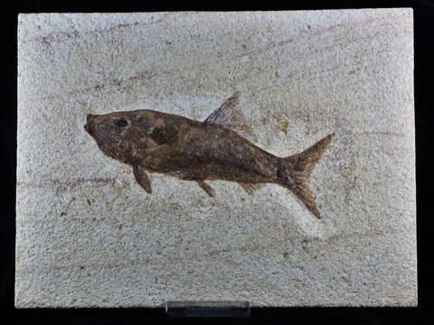 XL RARE RHACOLEPIS BUCCALIS FOSSIL FISH SPECIMEN 7 INCHES LONG 108 MILLION YRS OLD-Fossil Age Minerals