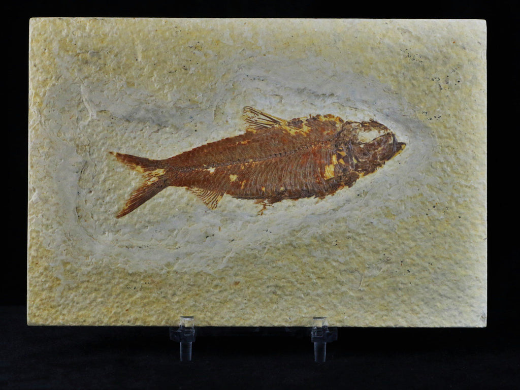 3.8 IN KNIGHTIA EOCAENA FOSSIL FISH GREEN RIVER WYOMING EOCENE AGE FREE COA & STAND - Fossil Age Minerals