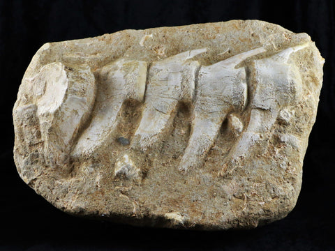 HUGE MOSASAUR VERTEBRAE IN MATRIX CRETACEOUS DINOSAUR ERA 80 MILLION YRS OLD STAND, COA