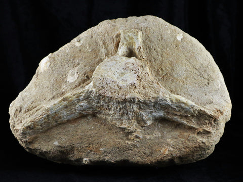 XXL MOSASAUR VERTEBRA IN MATRIX CRETACEOUS DINOSAUR ERA 80 MILLION YRS OLD STAND, COA