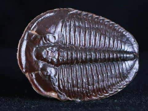 RARE BROWN ELRATHIA TRILOBITE FOSSIL FROM UTAH CAMBRIAN AGE 500 MILLION YEARS AGO - Fossil Age Minerals