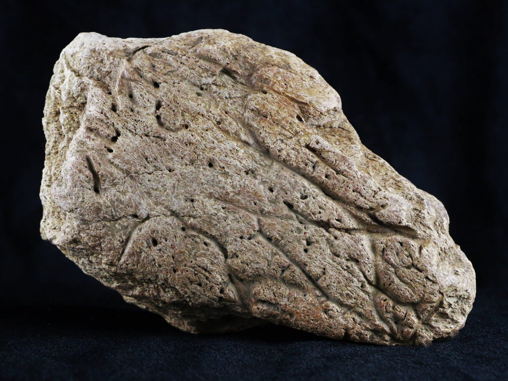 TRICERATOPS DINOSAUR BASE OF HORN BONE SPECIMEN HELL CREEK LATE CRETACEOUS MONTANA COA - Fossil Age Minerals