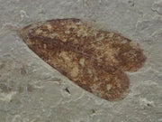 RARE HIGHLY DETAILED CELASTROPHYLLUM EMARGINATUM FOSSIL PLANT LEAF 54 MILLION YRS OLD EOCENE AGE - Fossil Age Minerals