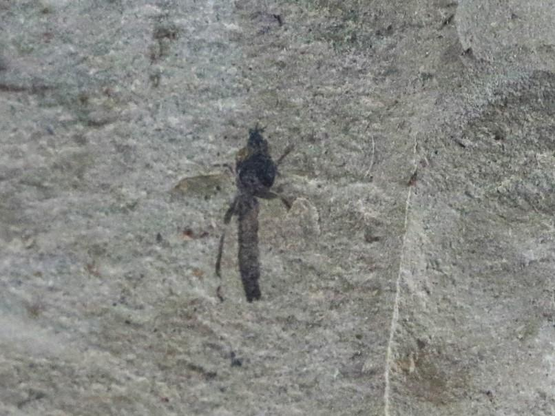 FOSSIL INSECT SACKENIA FLY GREEN RIVER FORMATION WYOMING EOCENE AGE 50 MILLION YRS - Fossil Age Minerals