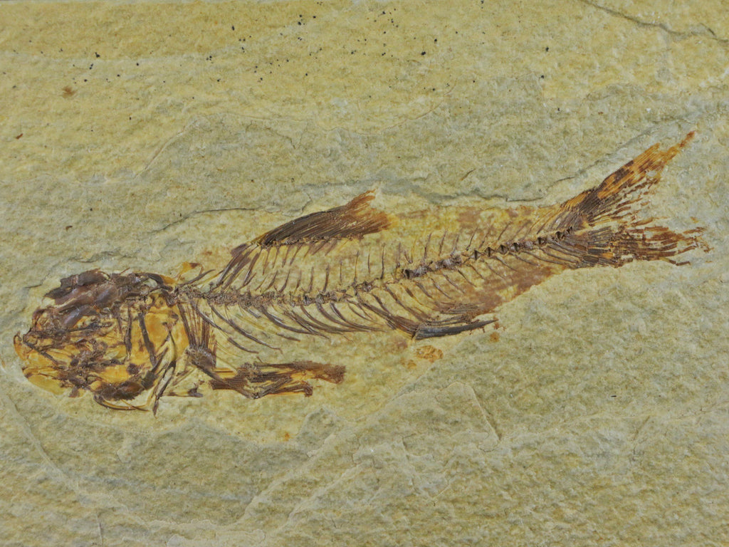 RARE AMPHIPLAGA BRACHYPTERA FOSSIL FISH GREEN RIVER FORMATION WY 4.3 INCHES LONG FREE STAND