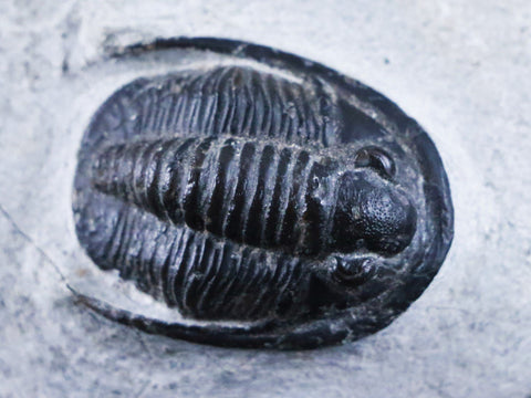 """FLYING"" DIADEMAPROETUS PRAECURSOR TRILOBITE FOSSIL MOROCCO DEVONIAN AGE 400 MILLION YEARS AGO - Fossil Age Minerals"