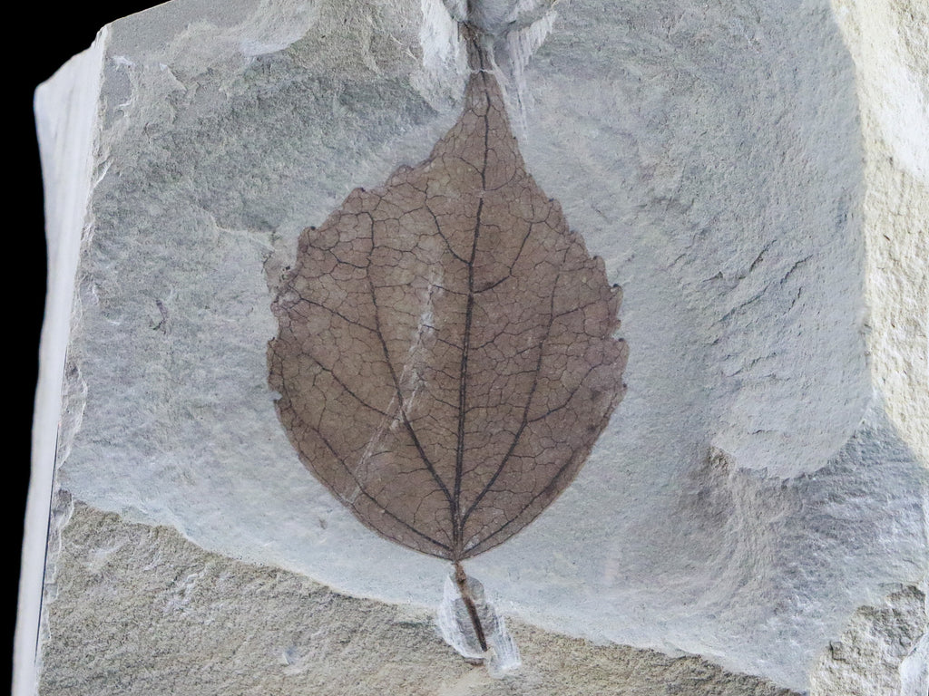XL HIGHLY DETAILED POPULUS WILMATTAE POPLAR FOSSIL PLANT LEAF 54 MILLION YRS OLD EOCENE AGE - Fossil Age Minerals