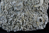 LARGE QUALITY CRINOIDS STEM ECHINODERM LARGE FOSSIL PLATE ON MATRIX SEA LILLY-Fossil Age Minerals