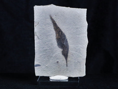 RARE HIGHLY DETAILED STYRAX TRANSVERSA FOSSIL PLANT LEAF 56 MILLION YEARS OLD EOCENE AGE - Fossil Age Minerals