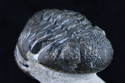 PHACOPS SPECULATER TRILOBITE FOSSIL MOROCCO DEVONIAN AGE 400 MILLION YEARS AGO - Fossil Age Minerals