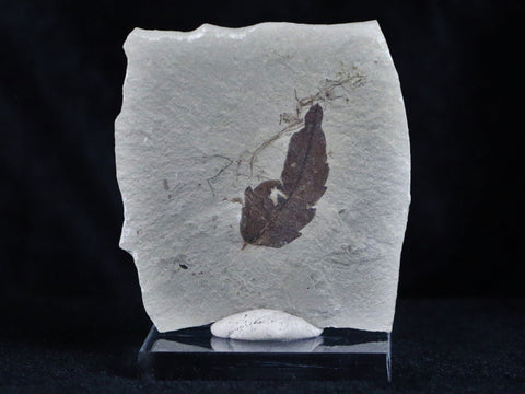 HIGHLY DETAILED BURSERA INAEQUALTERAL FOSSIL PLANT LEAF 56 MILLION YEARS OLD EOCENE AGE - Fossil Age Minerals