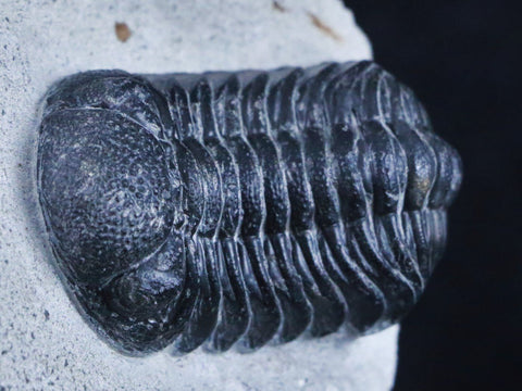 DROTOPS MEGALOMANICUS TRILOBITE FOSSIL MOROCCO DEVONIAN AGE 400 MILLION YRS OLD