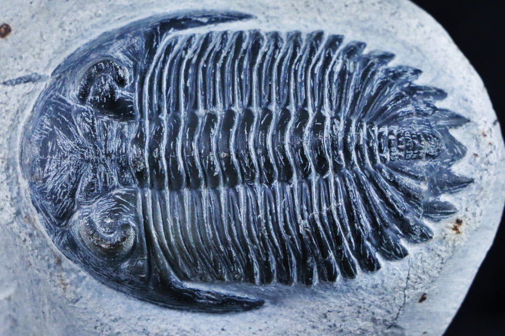 METACANTHINA ASTEROYGE TRILOBITE FOSSIL DEVONIAN AGE 400 MILLION YEARS AGO MOROCCO