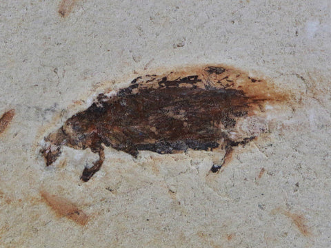 13 OZ RARE COCKROACH FOSSIL INSECT LOWER CRETACEOUS CRATO FORMATION BRAZIL FREE STAND - Fossil Age Minerals