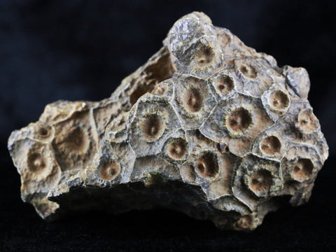 ROUGH CORAL FOSSIL DEVONIAN AGE 350 MILLION YRS AGO HEXAGONERIA MOROCCO-Fossil Age Minerals